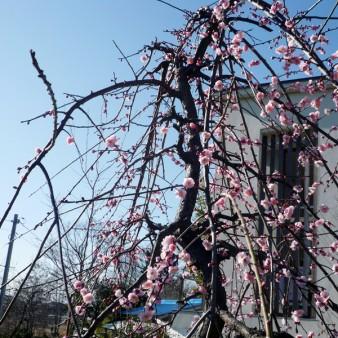 1:春 シダレウメの咲く立春。